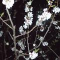 平岡梅林公園 (4)白梅