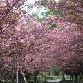 写真: 北海道大学構内のサクラ(1)