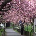 写真: 北海道大学構内のサクラ(3)