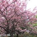写真: 北海道大学構内のサクラ(4)