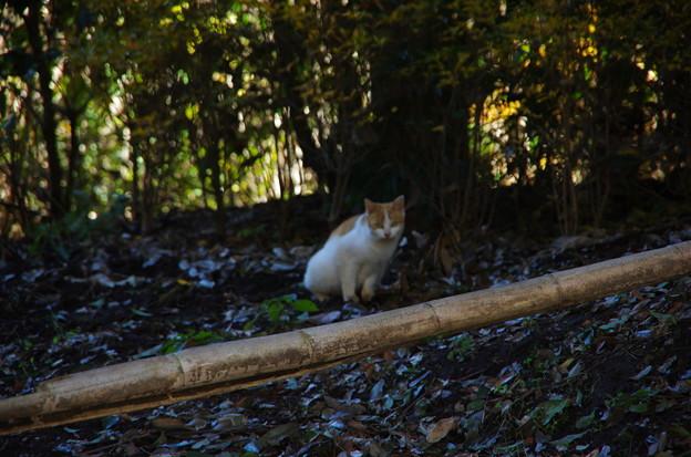 写真: 竹林のにゃんこ