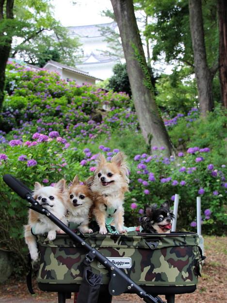 小田原城と紫陽花と