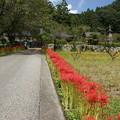 写真: 常楽寺参道の彼岸花