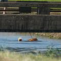 pz8856t 散歩犬-遊泳犬