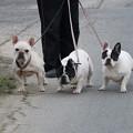 pz0386 散歩犬