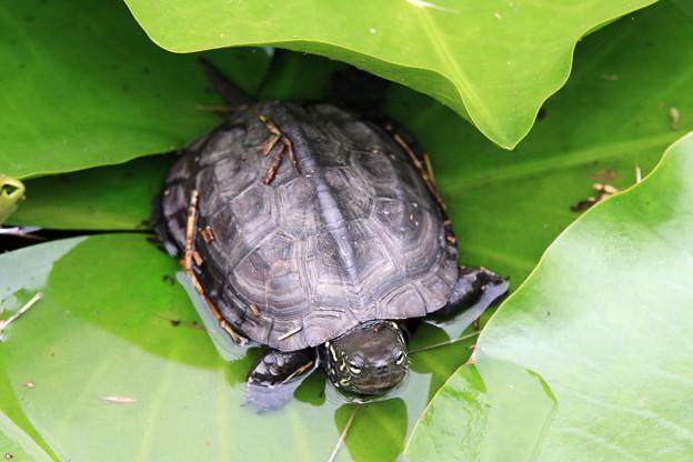 写真: 2012.06.18 三渓園 スイレン池にクサガメ
