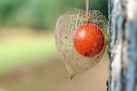 2014.10.28 追分市民の森 銀杏の木にホオズキ