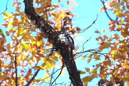 2014.12.18 瀬谷市民の森 立ち枯れの木でアカゲラ