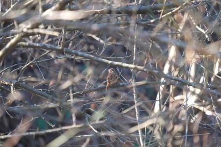 2014.12.22 追分市民の森 梅の枝中にホオジロ