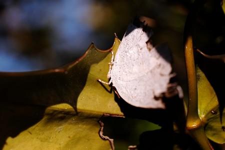 2015.01.12 追分市民の森 ヒイラギの葉裏にウラギンシジミ 越冬