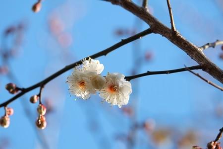 2015.01.16 和泉川 梅 開花