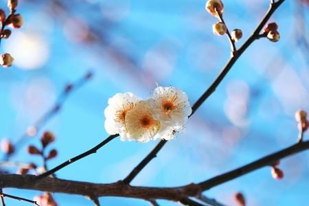 2015.01.19 和泉川 ウメ