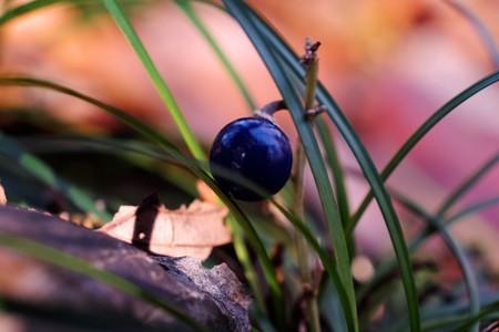 2015.01.23 瀬谷市民の森 ジャノヒゲ 森でサファイア