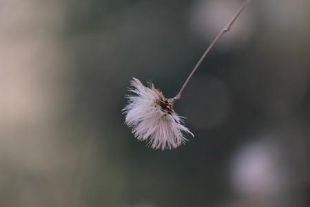 2015.01.26 瀬谷市民の森 コウヤボウキ