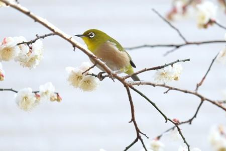 2015.01.27 和泉川 メジロ