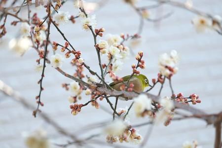 2015.01.27 和泉川 梅とメジロ