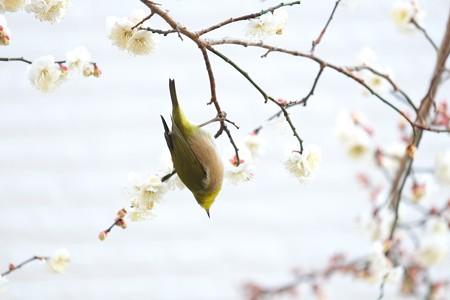 2015.01.27 和泉川 梅にメジロ
