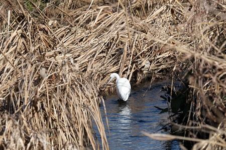 2015.01.29 和泉川 枯れ蒲流れで狩 コサギ