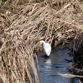 Photos: 2015.01.29 和泉川 枯れ蒲流れで狩 コサギ
