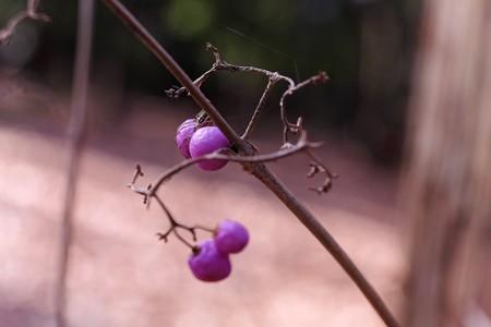 2015.02.04 瀬谷市民の森 ムラサキシキブにクサグモ 老眼に見えず