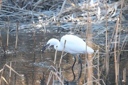 2015.02.06 和泉川 コサギにアメリカザリガニ 狩