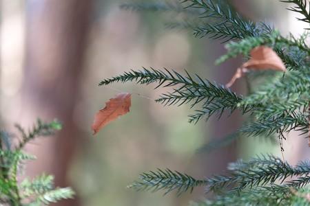2015.02.07 瀬谷市民の森 杉に枯葉