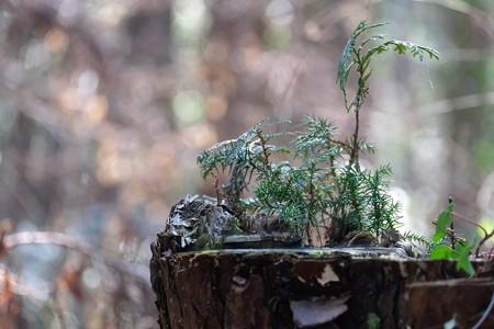 2015.02.07 追分市民の森 切株に杉や檜 新世代
