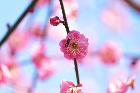 2015.02.19 瀬谷市民の森 紅梅にホソヒラタアブ