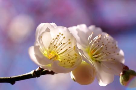 2015.03.02 大池公園 ウメ