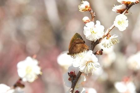 2015.03.02 大池公園 ウメに越冬したトラフシジミ?