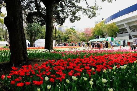 2017.04.10 横浜公園 チューリップ