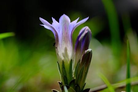 2017.04.13 瀬谷市民の森 フデリンドウ