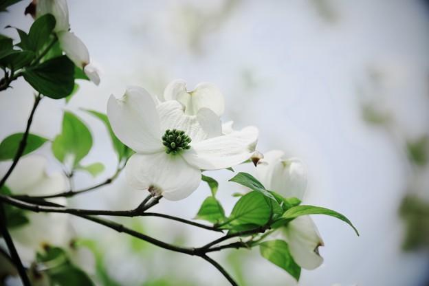 写真: 2017.04.18 和泉川 ハナミズキ