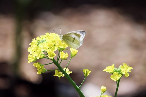 2017.04.20 和泉川 菜の花にモンシロチョウ