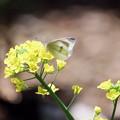 写真: 2017.04.20 和泉川 菜の花にモンシロチョウ