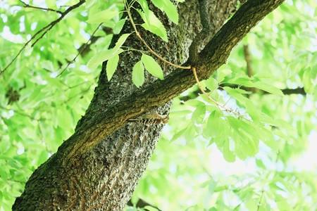 2017.04.28 追分市民の森 櫟にコゲラ
