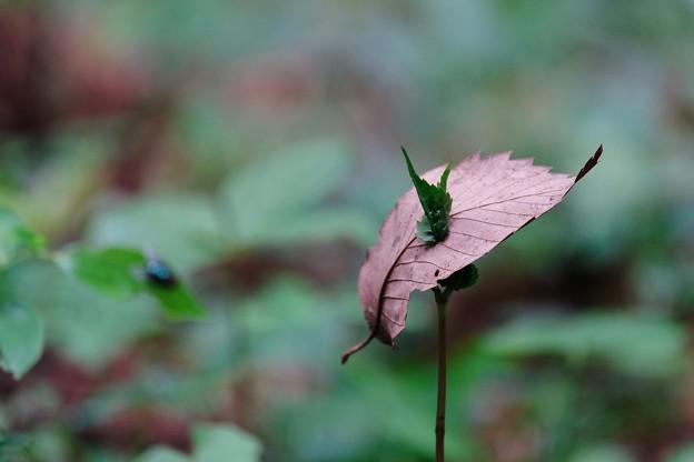 写真: 2017.05.14 瀬谷市民の森 枯葉 ニューファッショ