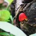 写真: 2017.05.14 追分市民の森 朽木に赤い茸