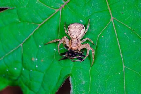 2017.05.18 瀬谷市民の森 クマダハナグモに捕獲された蜘蛛