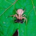 写真: 2017.05.18 瀬谷市民の森 クマダハナグモに捕獲された蜘蛛