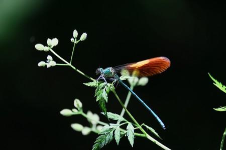 2017.05.27 瀬谷市民の森 オヤブジラミにニホンカワトンボ