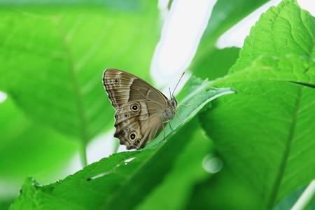 2017.06.22 追分市民の森 紫陽花にヒカゲチョウ