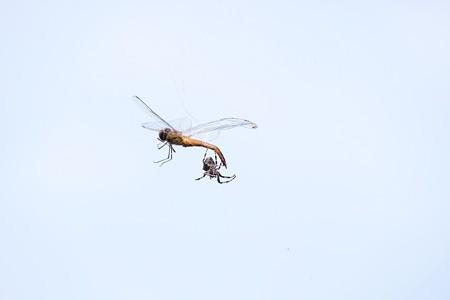 2017.08.03 和泉川 蜻蛉と蜘蛛 夏空