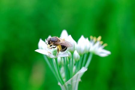 2017.08.24 追分市民の森 韮とミツバチ