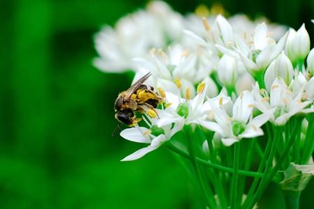 2017.08.24 追分市民の森 韮の雄蘂を破り花粉を集めるミツバチ