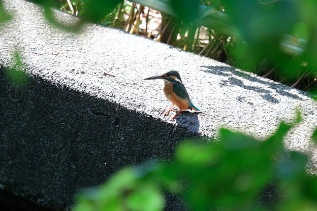 写真: 2017.10.10 和泉川 カワセミ