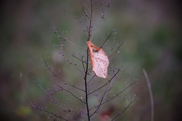 2017.11.18 和泉川 桜の下