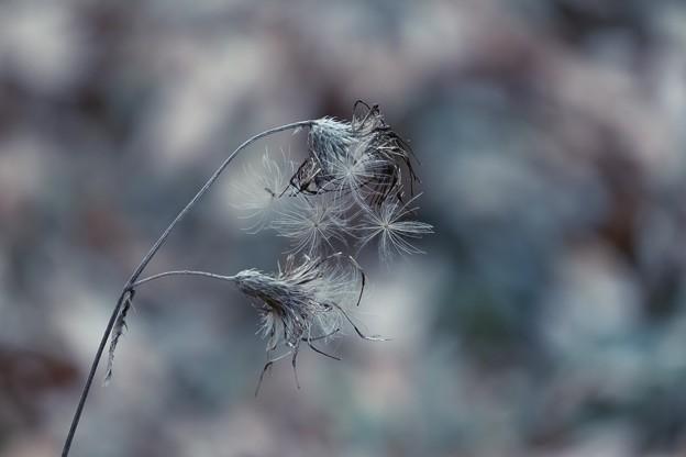 2017.12.22 追分市民の森 アザミ 冬景色