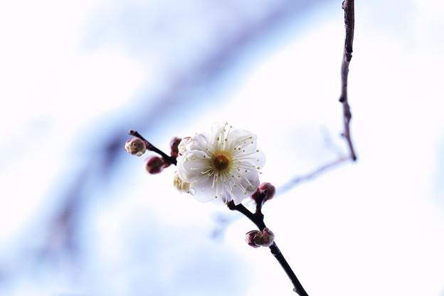 2018.01.18 和泉川 ウメ