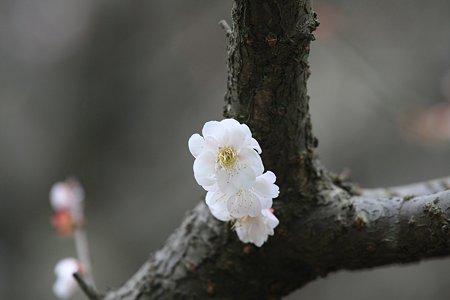 2010.03.17 大池公園 白梅
